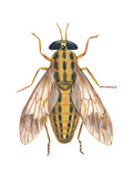 Deer Fly (Chrysops Callidas), Insects Prints by  Encyclopaedia Britannica