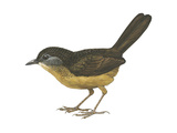 Streaked Long-Tailed Wren-Babbler (Spelaeornis Chocolatinus), Birds Posters