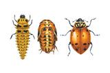 Ladybird Beetle Larva, Pupa and Adult (Coccinellidae), Ladybug, Insects Prints