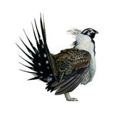 Sage Grouse (Centrocercus Urophasianus), Birds Reproduction sur métal par  Encyclopaedia Britannica
