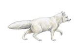 Arctic (Blue), Mammals Fox (Alopex Lagopus), Mammals Print by  Encyclopaedia Britannica