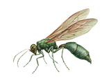 Cuckoo Wasp (Chrysididae), Insects Posters by  Encyclopaedia Britannica