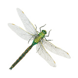 Green Darner - Female (Anax Junius), Dragonfly, Insects Prints by  Encyclopaedia Britannica