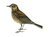 Pipit (Anthus Spinoletta), Birds Stretched Canvas Print by  Encyclopaedia Britannica