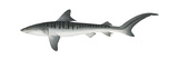 Tiger Shark (Galeocerdo Cuvieri), Fishes Plakater af Encyclopaedia Britannica