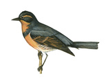 Varied Thrush (Ixoreus Naevius), Birds Poster by  Encyclopaedia Britannica