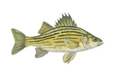 Yellow Bass (Roccus Mississippiensis), Fishes Posters by  Encyclopaedia Britannica