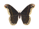 Promethea Moth (Callosamia Promethea), Insects Posters by  Encyclopaedia Britannica