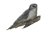 Owlet Frogmouth (Aegotheles Cristatus), Birds Posters by  Encyclopaedia Britannica