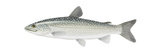 Lake Trout (Salvelinus Namaycush), Fishes Posters by  Encyclopaedia Britannica