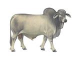 Brahman Bull, Beef Cattle, Mammals Photo