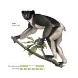 Indri (Indri Indri), Lemur, Mammals Photo by  Encyclopaedia Britannica