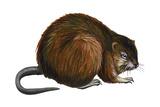 Muskrat (Ondatra Zibethica), Mammals Prints by  Encyclopaedia Britannica