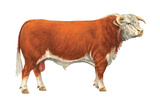 Hereford Bull, Beef Cattle, Mammals Posters