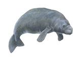 Dugong (Dugong Dugon), Mammals Stretched Canvas Print by  Encyclopaedia Britannica