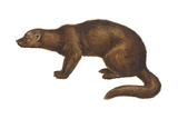 Fisher (Martes Pennanti), Mammals Photo by  Encyclopaedia Britannica