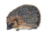 Hedgehog (Erinaceus Europaeus), Mammals Stretched Canvas Print by  Encyclopaedia Britannica