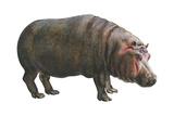 Common Hippopotamus (Hippopotamus Amphibius), Mammals Prints by  Encyclopaedia Britannica