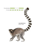 Ring-Tailed Lemur (Lemur Catta), Mammals Posters by  Encyclopaedia Britannica