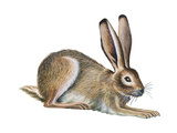 Jackrabbit (Lepus Townsendi), Mammals Stretched Canvas Print by  Encyclopaedia Britannica