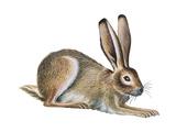 Jackrabbit (Lepus Townsendi), Mammals Prints