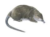 Desman (Desmana Moschata), Mammals Print