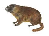 Yellow-Bellied Marmot (Marmota Flaviventris), Mammals Photo