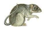 Common Domestic Rat (Rattus Norvegicus), Mammals Posters af Encyclopaedia Britannica