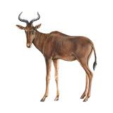 Hartebeest (Alcelaphus Caama), Mammals Billeder af Encyclopaedia Britannica