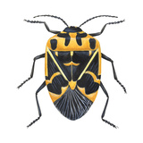Harlequin Cabbage Bug (Murgantia Histrionica), Insects Poster by  Encyclopaedia Britannica