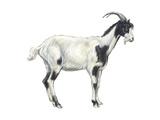 Domestic Goat (Capra Hircus), Mammals Poster af Encyclopaedia Britannica