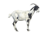Domestic Goat (Capra Hircus), Mammals Stretched Canvas Print by  Encyclopaedia Britannica
