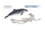 Harbour Porpoise (Phocoena Phocoena), Mammals Prints