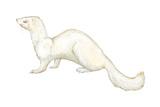 Ferret (Mustela Furo), Mammals Posters by  Encyclopaedia Britannica