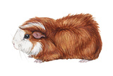 Guinea Pig (Cavia Cobaya), Mammals Posters van  Encyclopaedia Britannica
