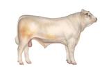 Charolais Bull, Beef Cattle, Mammals Prints
