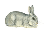 Domestic Rabbit (Oryctolagus Cuniculus), Mammals Prints by  Encyclopaedia Britannica