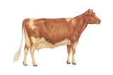Guernsey Cow, Dairy Cattle, Mammals Posters by  Encyclopaedia Britannica