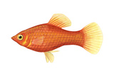 Red Platy (Xiphophorus Maculatus), Fishes Posters by  Encyclopaedia Britannica