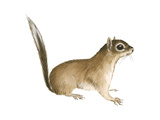 African Pygmy Squirrel (Myosciurus Pumilio), Mammals Posters