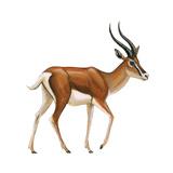 Gazelle (Gazella Granti), Mammals Poster af Encyclopaedia Britannica