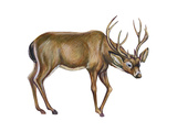 Black-Tailed Deer (Odocoileus Hemionus Columbianus), Mammals Posters by  Encyclopaedia Britannica