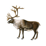 Mountain Caribou (Rangifer Montanus), Mammals Prints by  Encyclopaedia Britannica