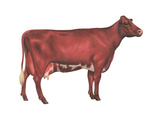 Milking Shorthorn Cow, Dairy Cattle, Mammals Prints