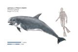 Risso's Dolphin or Grampus (Grampus Griseus), Mammals Prints