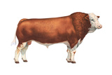 Simmental Bull, Beef Cattle, Mammals Posters by  Encyclopaedia Britannica