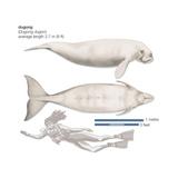 Dugong (Dugong Dugon), Mammals Kunstdrucke von  Encyclopaedia Britannica