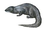 Mongoose (Herpestes Nyula), Mammals Posters by  Encyclopaedia Britannica