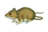 Rice Rat (Oryzomys Palustris), Mammals Poster by  Encyclopaedia Britannica