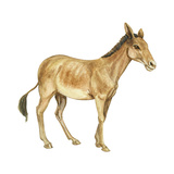 Onager (Equus Onager), Mammals Posters